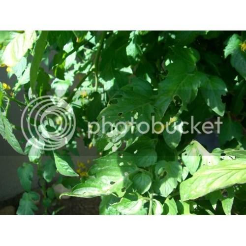 Medium Crop Of Tomato Leaves Curling
