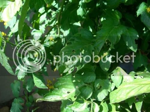 Medium Of Tomato Leaves Curling