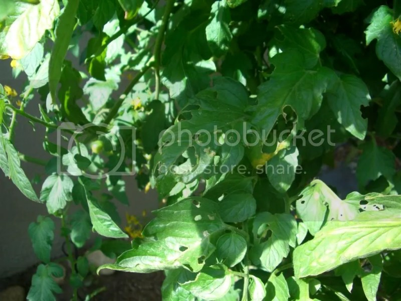 Large Of Tomato Leaves Curling