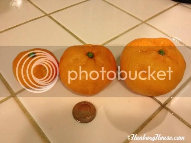 Cutie Mandarin Orange Owari Satsuma tangerine
