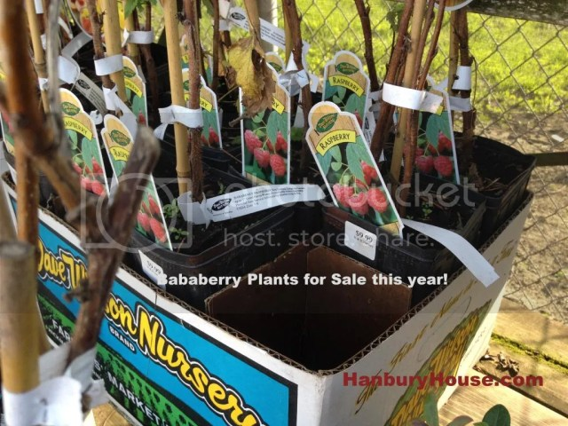 where to buy bababerry plants