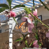 Monarch Butterflies and LBCC plant sale