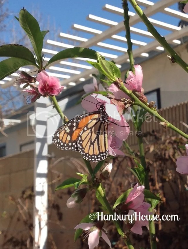attract monarch butterflies southern california lbcc plant sale native milkweed plants list