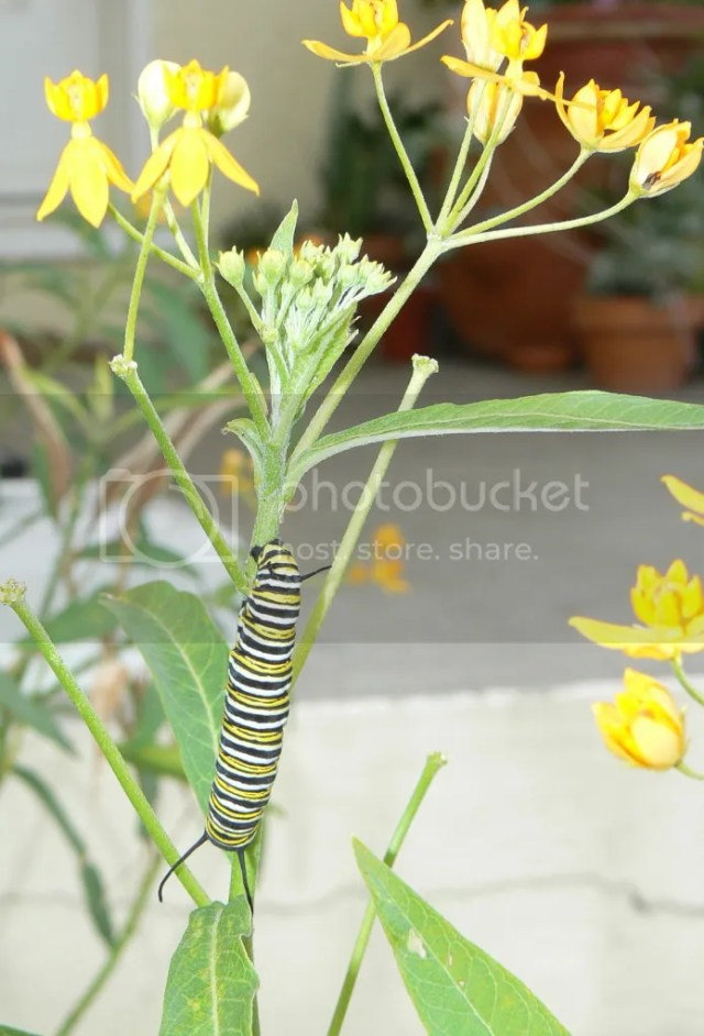 milkweed plant with monarch caterpillar