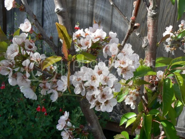 Lots of blossoms on low chill Royal Lee and Minnie Royal cherry trees in Southern California