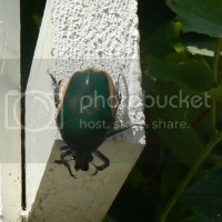Green Fruit Beetle Season