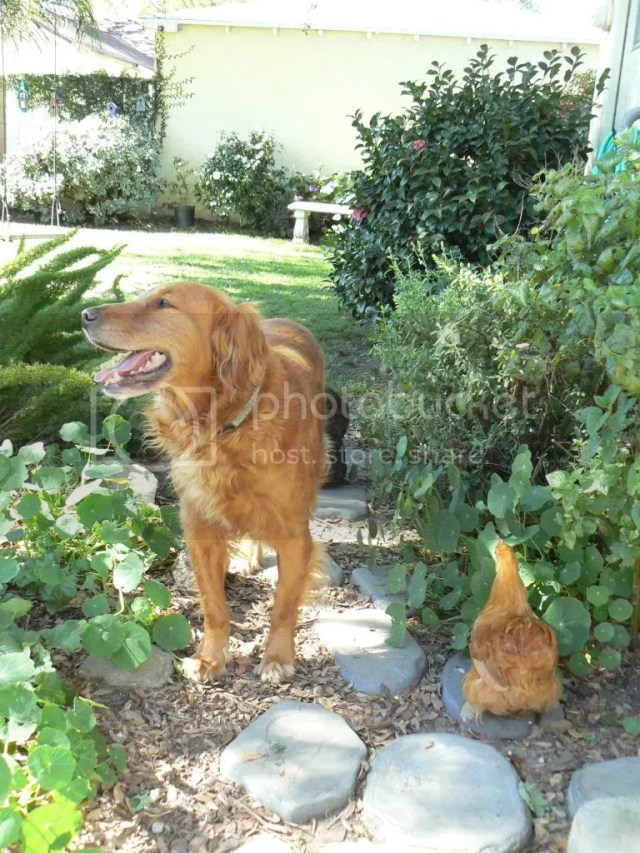 Golden Retriever with a chicken in the backyard chickens cochin hen buff bantam digging
