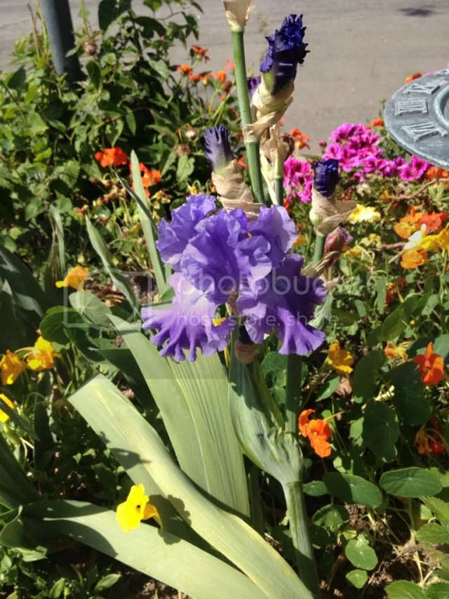 blue purple bearded iris LBCC Horticulture Dept propagated