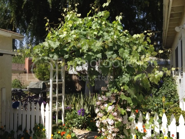 Jupiter grape garden southern california grape good from cool summer
