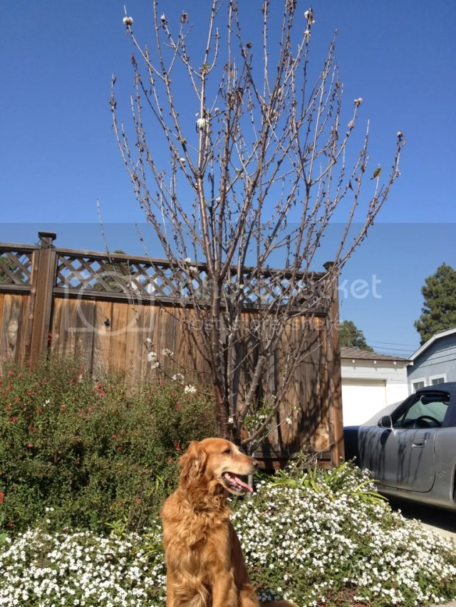 low chill cherry tree full grown size long term