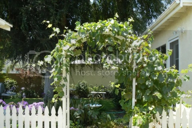 Jupiter grapes on entry arbor to backyard