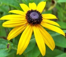 2011 Allen & Ginter Black Eyed Susan
