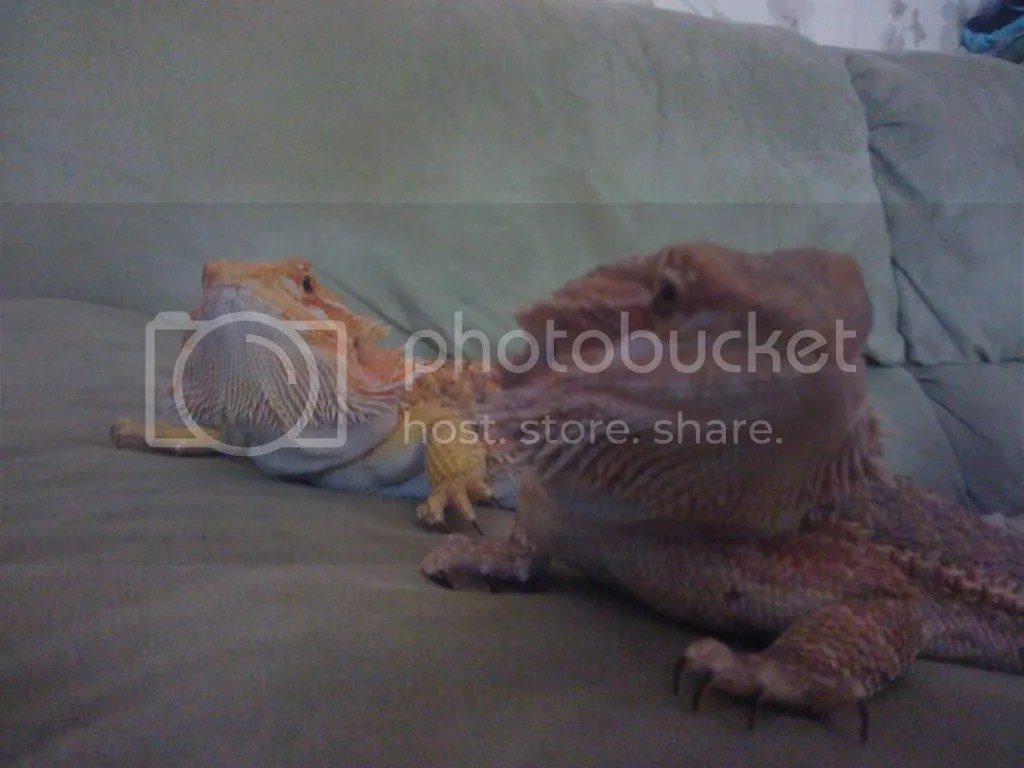 Sleepy Time O Bearded Dragon Org