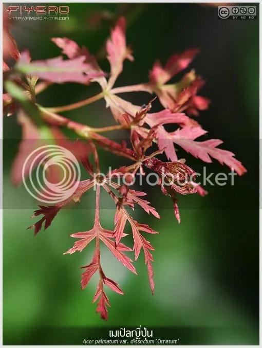 เมเปิลญี่ปุ่น, ต้นเมเปิล, ใบเมเปิล, Acer palmatum var. dissectum Ornatum, Japanese Maple, ไม้ใบ, ใบสีแดง, บอนไซ, ไม้ประดับ, ไม้ผลัดใบ, ไม้แปลก, ไม้นอก, ต้นไม้, aKitia.Com