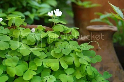 self seeding clover type plant