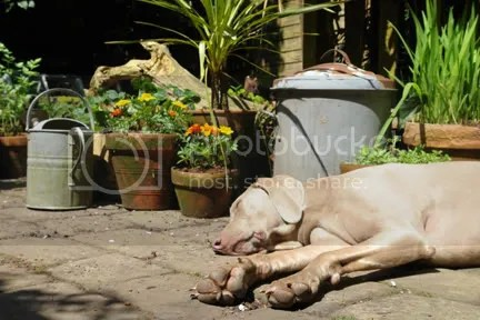 Fudge the dog asleep in the garden