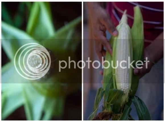 Jersey fresh Corn on the cob