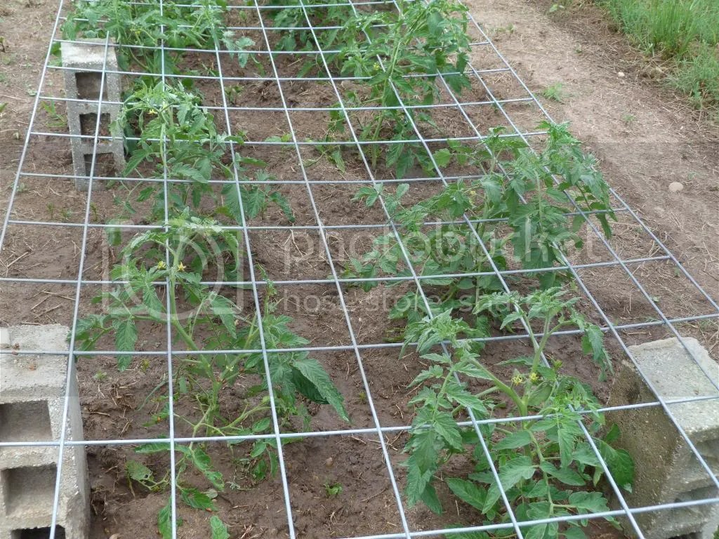 Fullsize Of Texas Tomato Cages