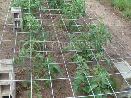 Medium Of Texas Tomato Cages