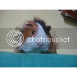 Small Crop Of Guinea Pig Forum