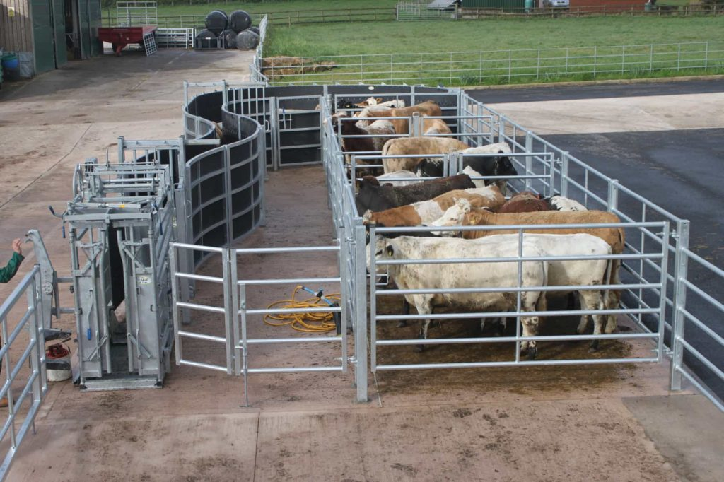 Fixed Cattle Handling Systems Cattle Handling Iae