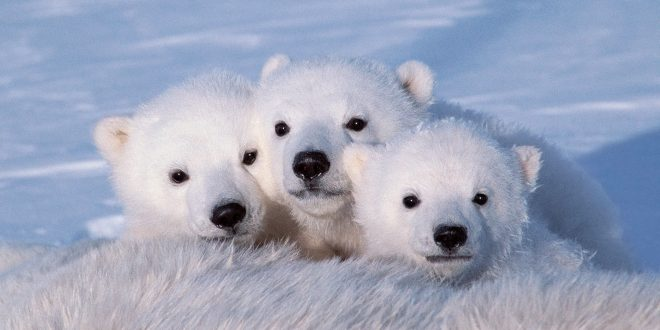 Reindeer Wallpaper Cute El Oso Polar Ese Gigante Blanco Ianimales Blog