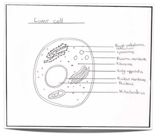 plant cell diagram showing a chloroplast