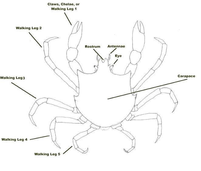 diagram of true crab