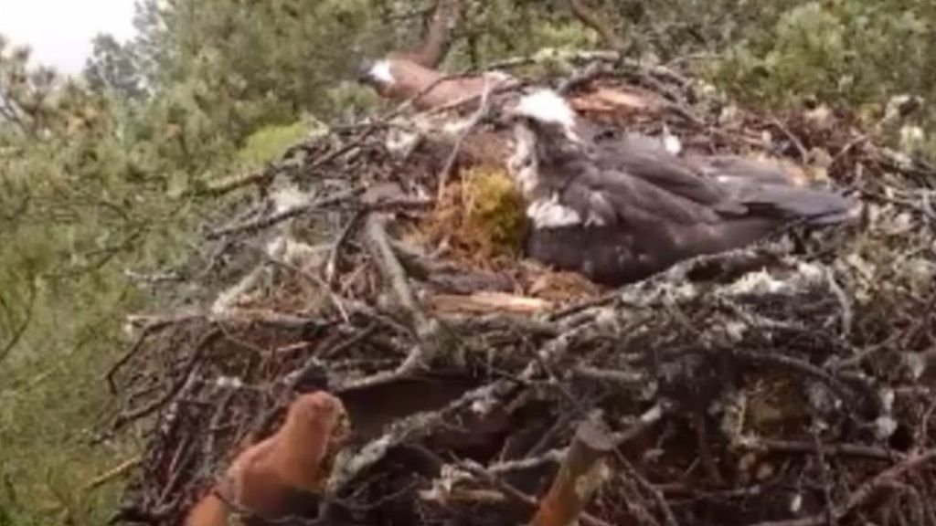 Curious Red Squirrel Peeks Into An Osprey Nest  All New