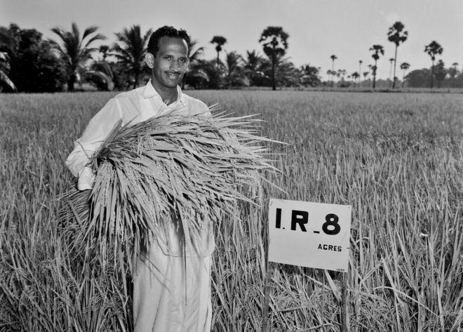 Subba Rao recogiendo la primera cosecha de IR8.