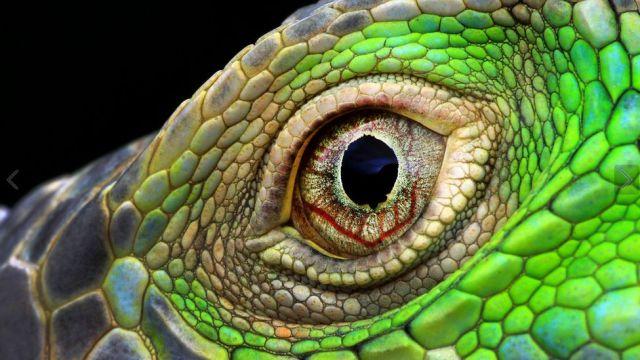 Primerísimo primer plano del ojo de una iguana por Muhammad Roem