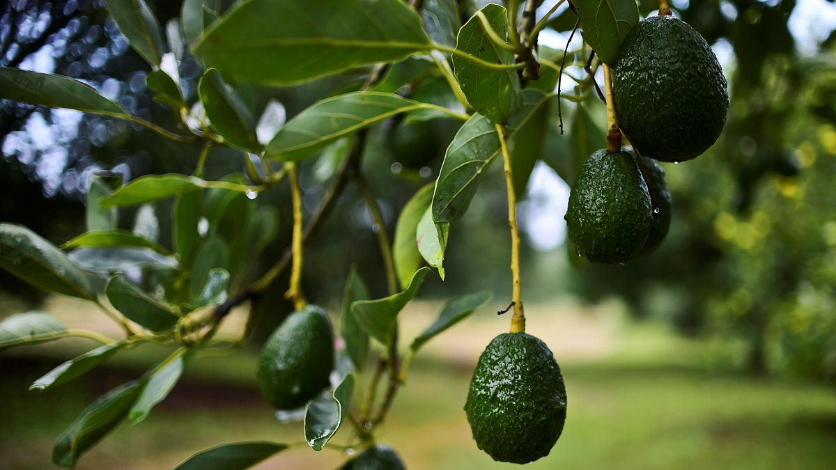 Avocado Boom Bbc World Service The Documentary The Avocado Wall