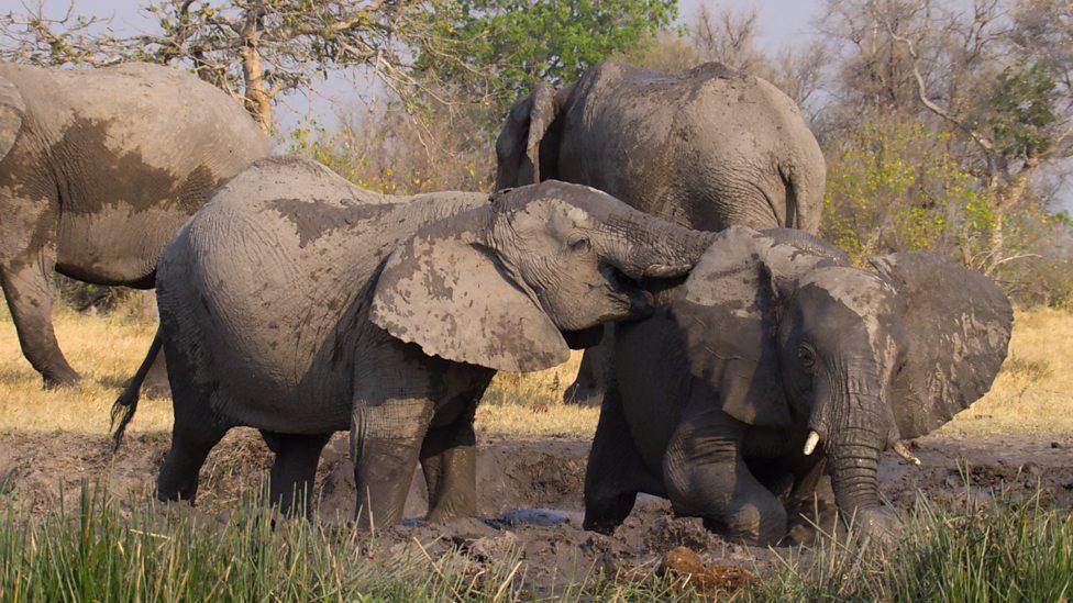 BBC Two - Elephants making waterhole, Okavango Delta - Earth\u0027s