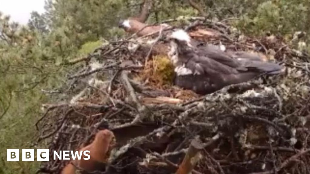 curious red squirrel peeks into an osprey nest
