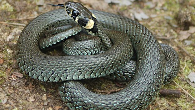 New grass snake identified in the UK - BBC News