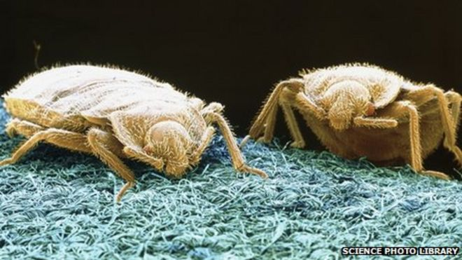 Catching the mother of all bed bugs - BBC News