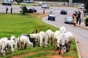 fct-minister-bans-cattle-grazing-in-abuja