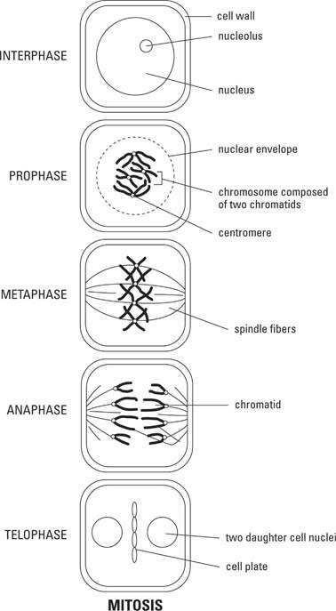 Diagram Steps Of Meiosis