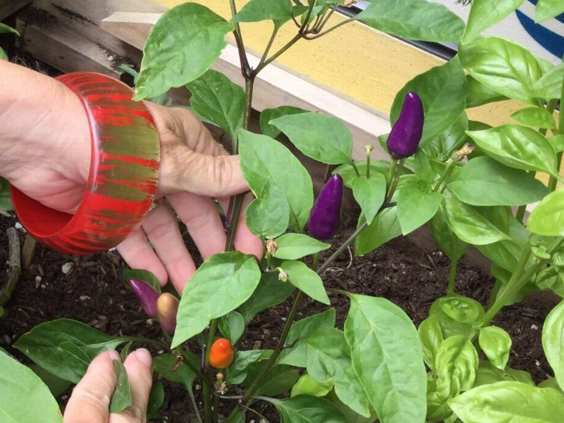 Pepper Finance Reviews Got Peppers Grow Some Plants In Pots To Be Sure You Do Idaho