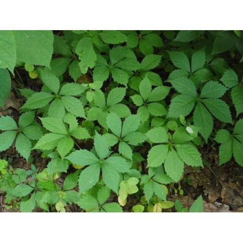 Medium Crop Of 5 Leaf Vine