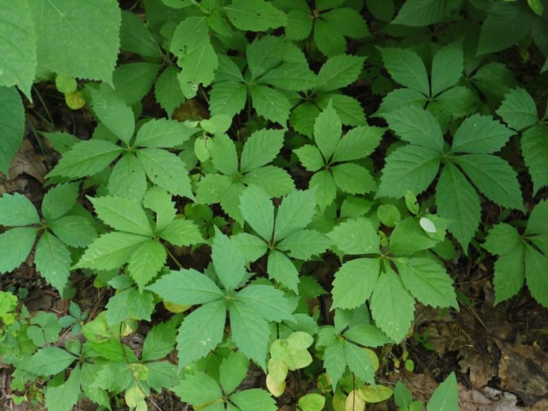 Large Of 5 Leaf Vine