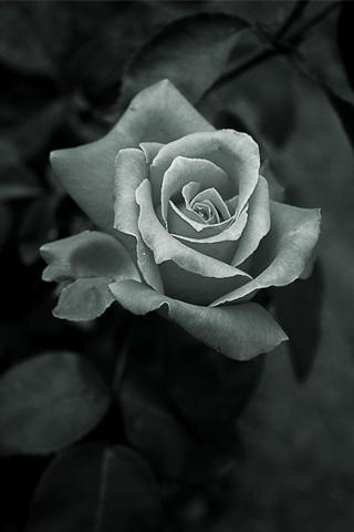 3d Hd Wallpapers Flowers Rose Rose Iphone Wallpaper Idesign Iphone