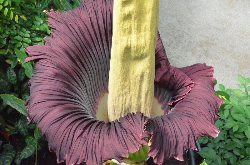 Corpse Flower New York The Rare Blooming Of The Corpse Flower – If It's Hip, It's