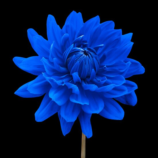 Blue Dahlia Flower Black Background Wall Art\
