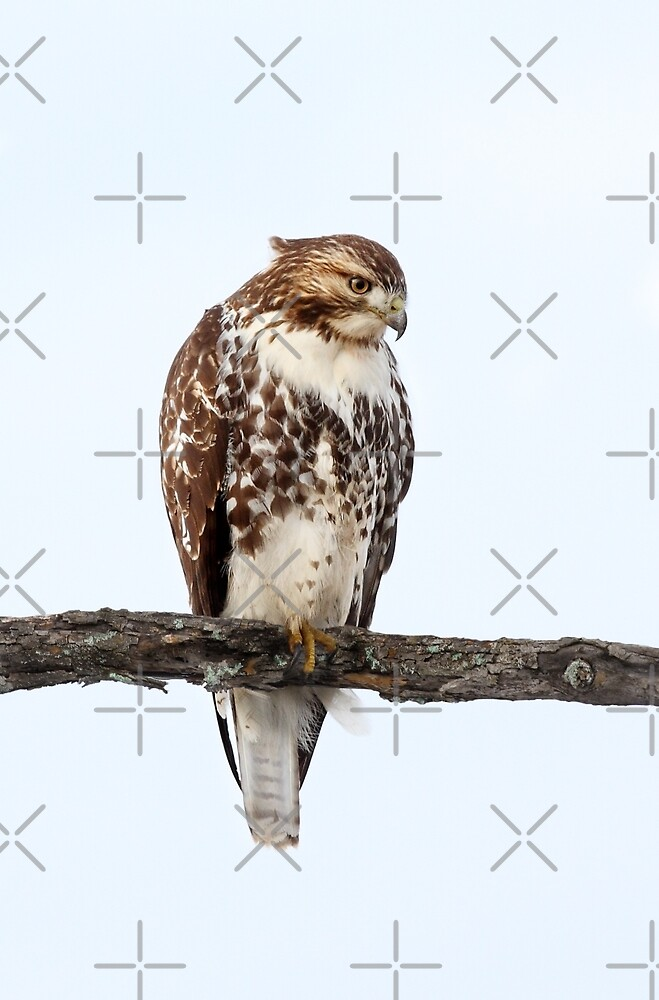 "Duvet Covers Canada ""red-tailed Hawk - Perched"" By Jim Cumming 