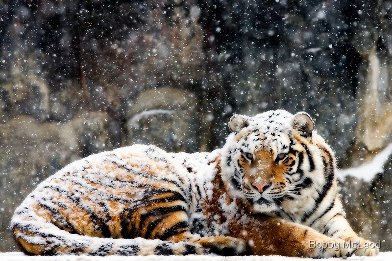 Snow Falling Wallpaper For Iphone Quot Waking Up Grumpy Quot By Bobby Mcleod Redbubble