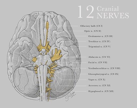 12 Cranial Nerves\