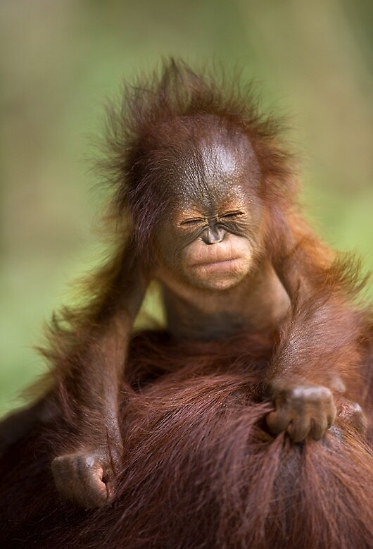 Toddler On Car Orangutan Baby Scrunched Face By Bwmphoto Redbubble