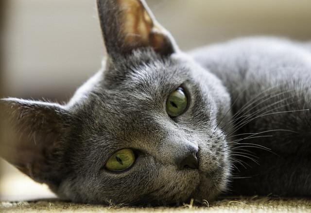 10 Hypoallergenic Cat Breeds Iheartcatscom