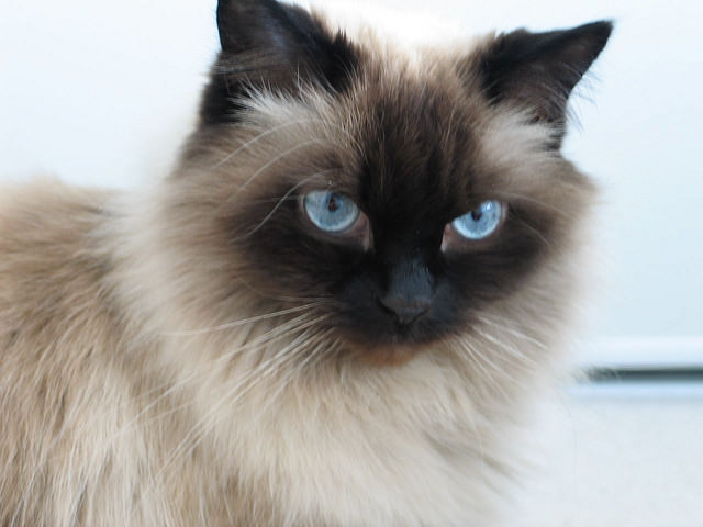 Himalaya Hd Wallpaper 5 Things You Didn T Know About The Himalayan Cat